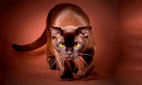 pisicile din rasa ciocolata