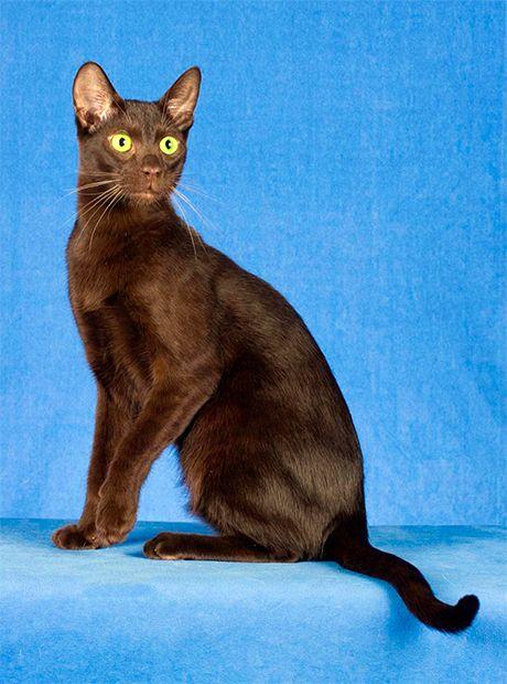 Havana pisică
