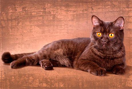 Pisica de ciocolata britanica