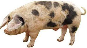 1.3 porci principale, crescute în Belarus