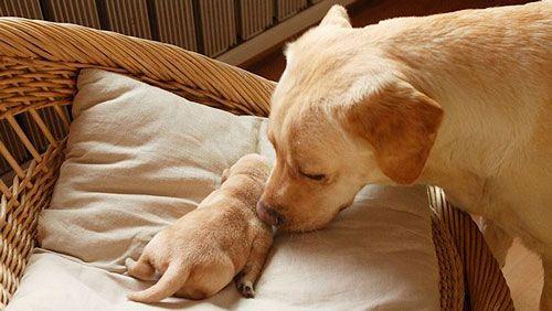 Nakon poroda hipokalcemijom u psa