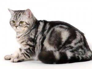 Навиците на британските котки