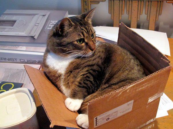 Zvyky a návyky, prečo mačky majú radi kartónových krabíc