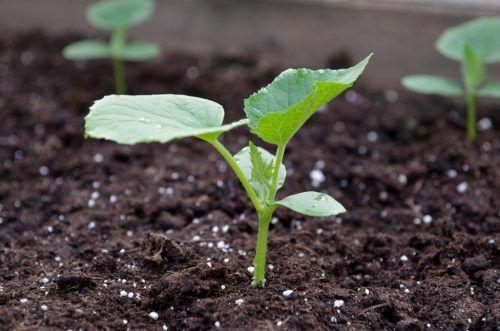 Hnojivo pre uhorky počas pristátia