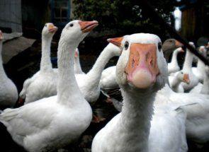 Мънимейкър за домакин - отглеждане на гъски в стопанството