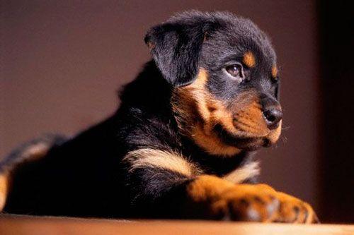 Uzroci i liječenje kriptorhizam kod pasa