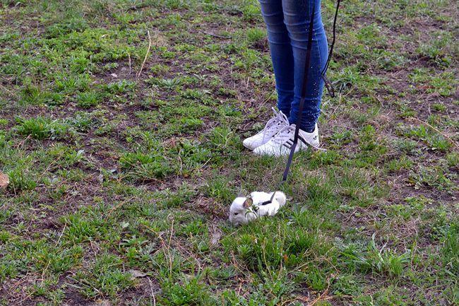 Chinchilla pe o lesa de mers pe iarba