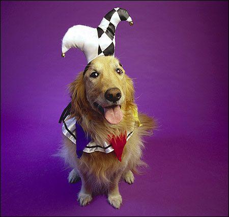 Zlatý retriever - klaun Photo Dog Photo Image