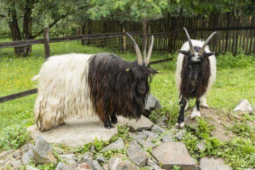 Znaci lov i parenje funkcije koza