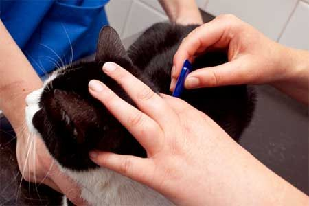 Профилактика и лечение на котки от бълхи.