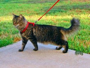 Разходка с котка