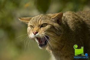 Произходът на котки