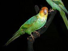 Karolinska papagal (conuropsis carolinensis)