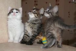 Пухкави привързан котенца търсят домакини