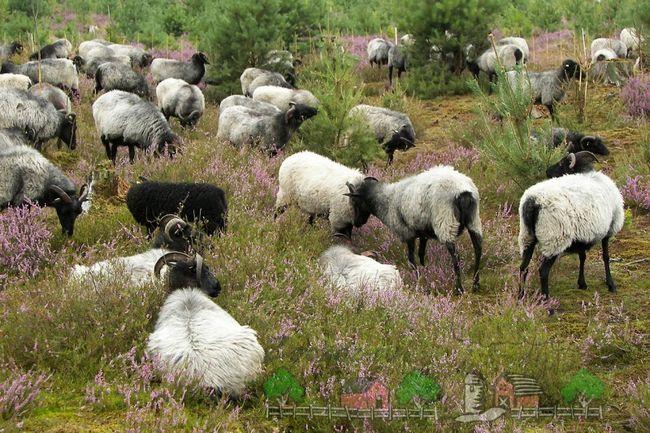 O turmă de oi în lunca