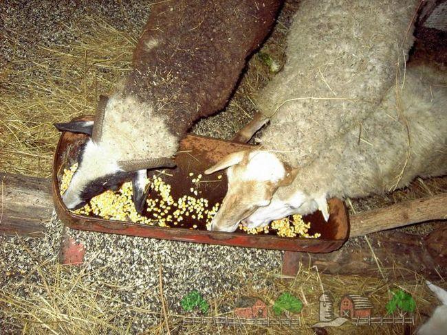 Oi manca din alimentatoare de porumb