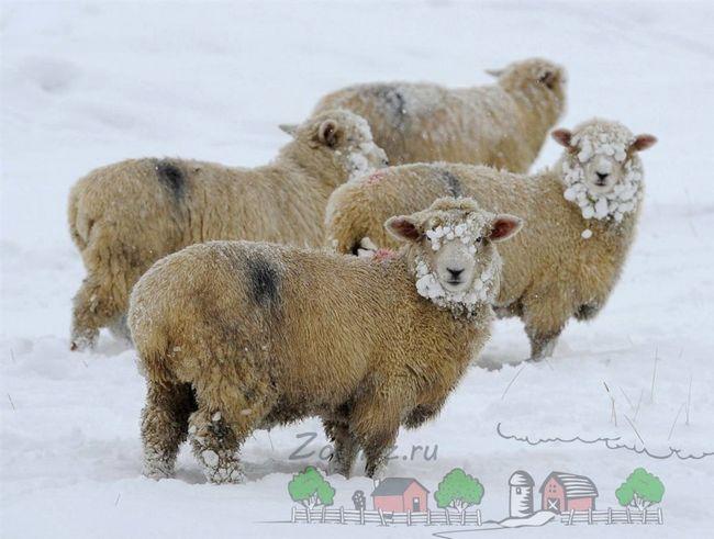 O turmă de oi privind roaming-ul în timpul iernii