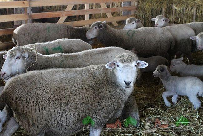 Turmă de oi în hambar