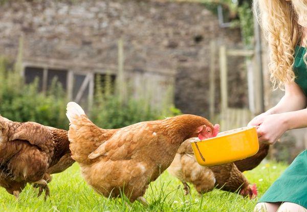 Gazda hrănește puii de găină dintr-un castron