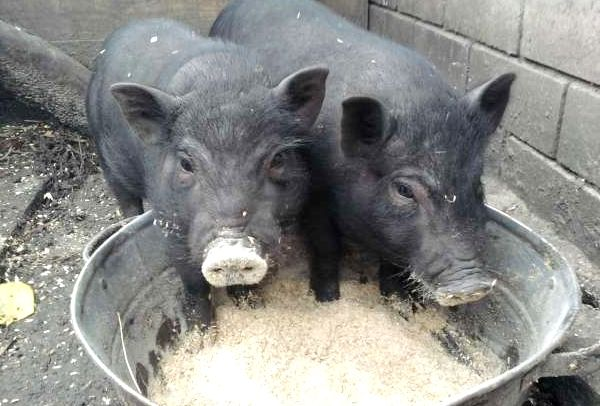 Dieta pentru porci vietnamezi