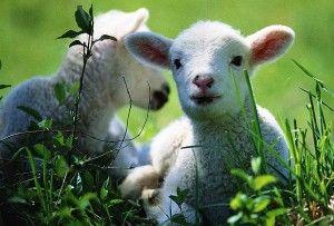 Dieta de oi, berbeci și miei
