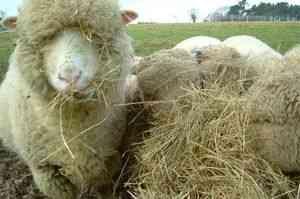 hrănire în special oile și mieii în diferite momente ale anului