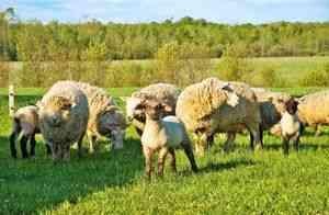 Hrănirea oile la domiciliu, ce să mănânce, cum să se hrănească