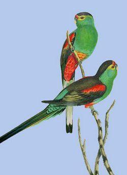 Paradise cântând popugaypsephotus pulcherrimus