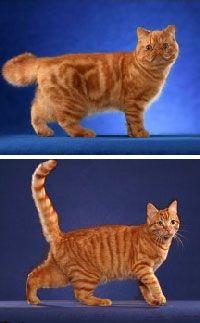Непокрити генетичния механизъм на пъстрите цветове при котките.