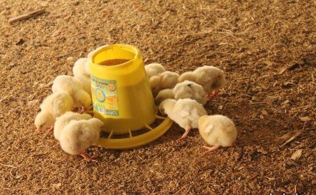Kurčatá jesť zo žľabu