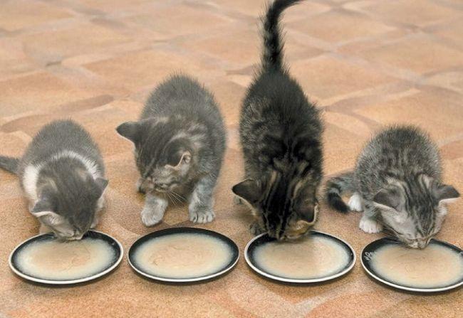 Mačići jedu kašu