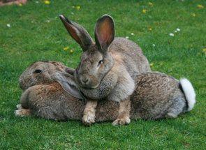 Rozlišovať králičieho chlapca na dievča