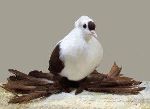 Multi-boji golubova, zgodan: pregled ptice