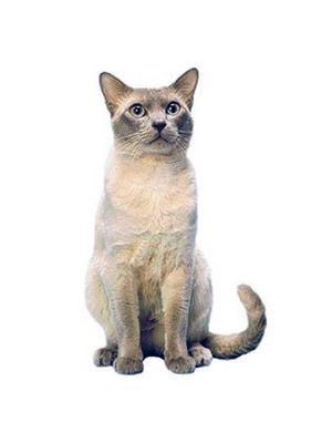 Племенни котки. Кратка история