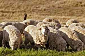 Rasa de oi de carne: tehnologie
