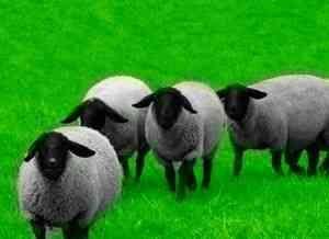 Rasa de oi Romanov pentru lână și carne