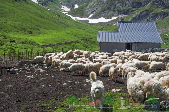 O turmă de oi într-o pășune în munți