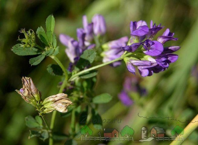 Floare lucernă pășune
