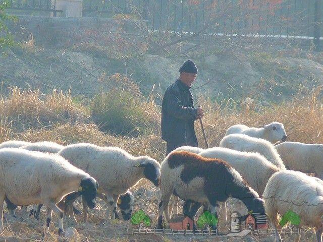 Shepherd Customize oi