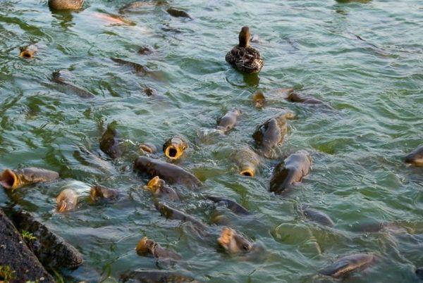 Uzgoj ribe u vještačkim ribnjacima kao poslovni