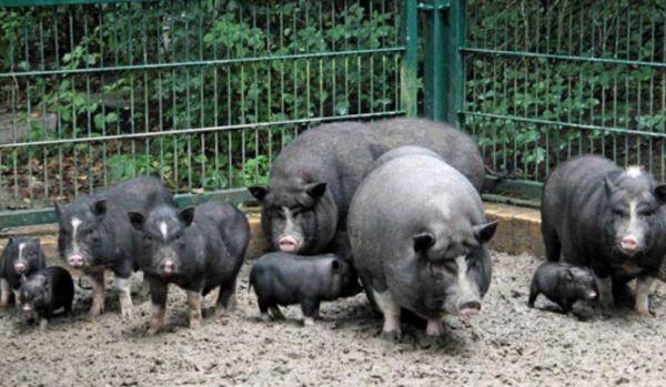 Свине за разплод виетнамски - много по-евтино, отколкото нормален прасе