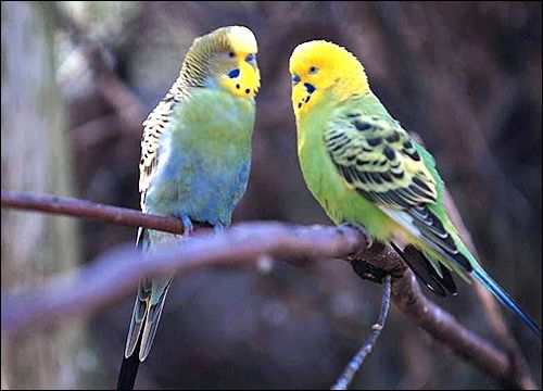 Andulky (Melopsittacus undulatus) Reklamné fotografie Bird image