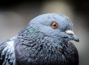 Rasa golubova: moraju znati svaki živinari?