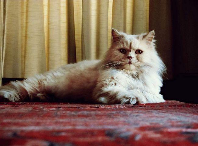 Reproducere pisici nu este un hobby scump, dar de afaceri foarte profitabile!