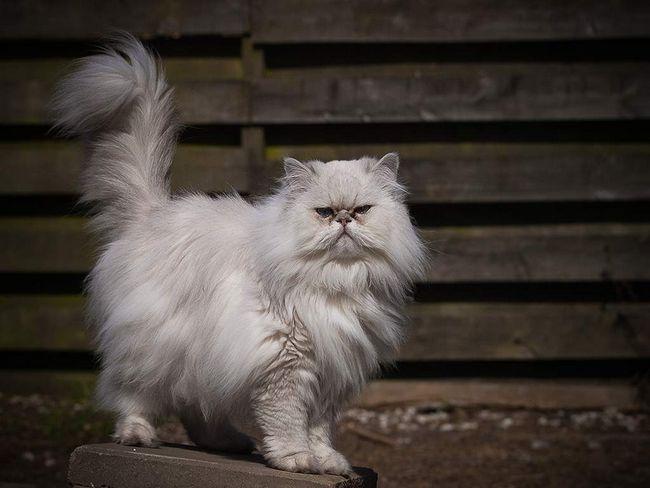De reproducție pisici de rasă pură ca o afacere necesită o abordare serioasă a afacerilor.