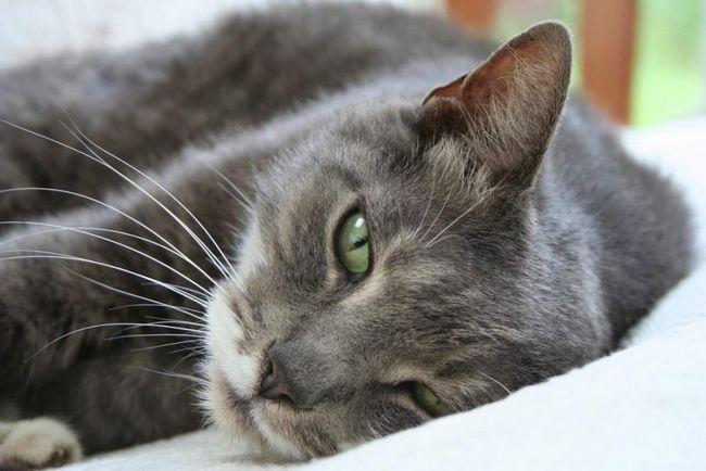 Pentru reproducere de pisici de rasa ar trebui să utilizeze serviciile cluburilor feline.