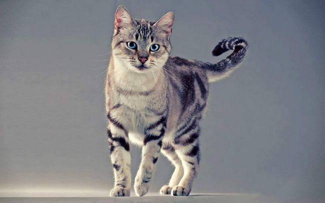 O parte a plantei este o pisica pursânge în mod specific de a se angaja în cultivare.