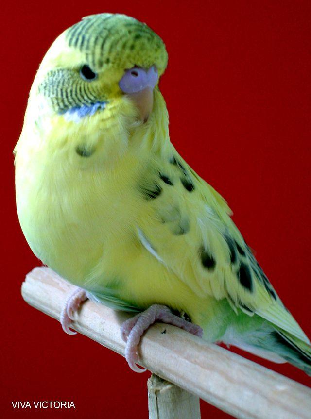 Recesiv pied papagal verde deschis