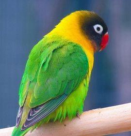 Agapornis Rhode (lovebirds) Lovebird galben-gulerat (Agapornis personatus)