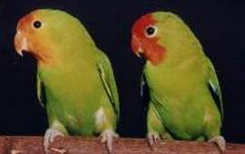 Rhode Agapornis (lovebirds) Lovebird oranzhevogolovy (Agapornis pullarius)